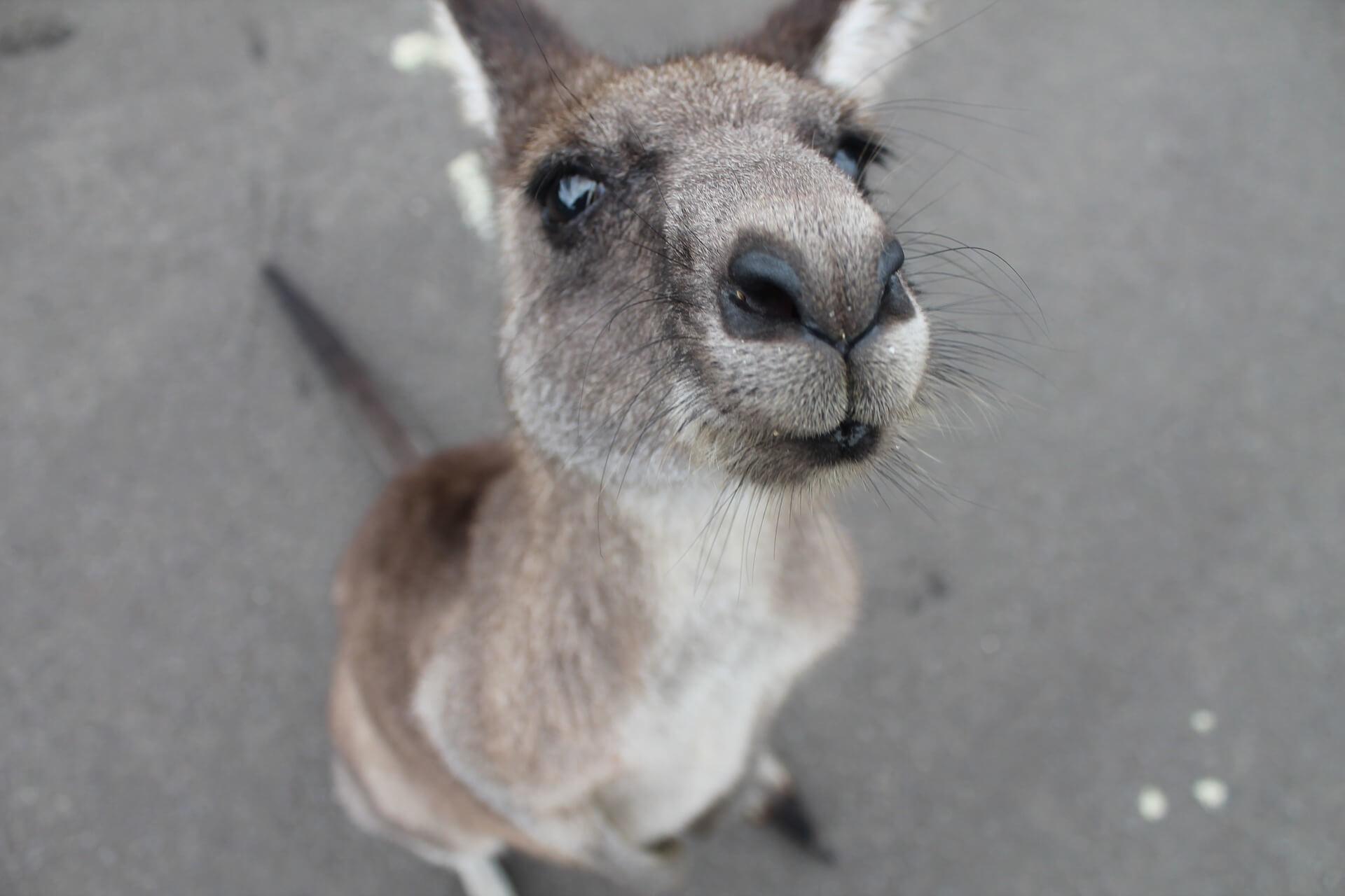 känguru_australien
