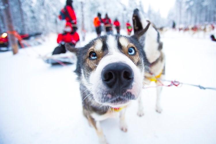 Rovaniemi Schlittenhund