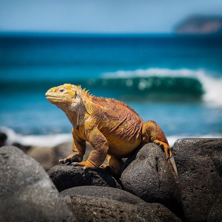 Galapagos Echse