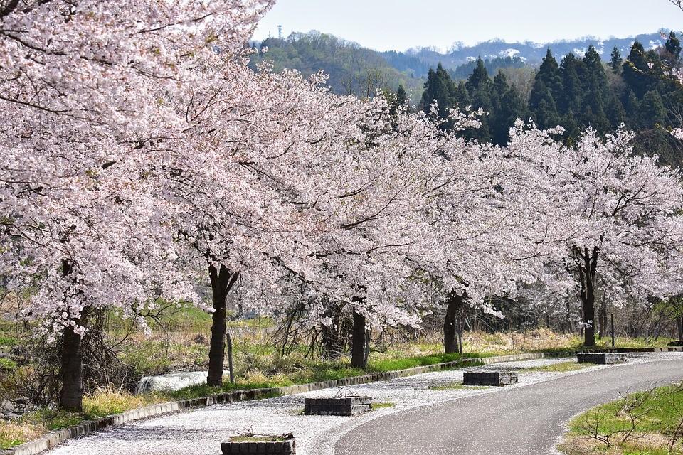 Japan Kirschblüte Hanami