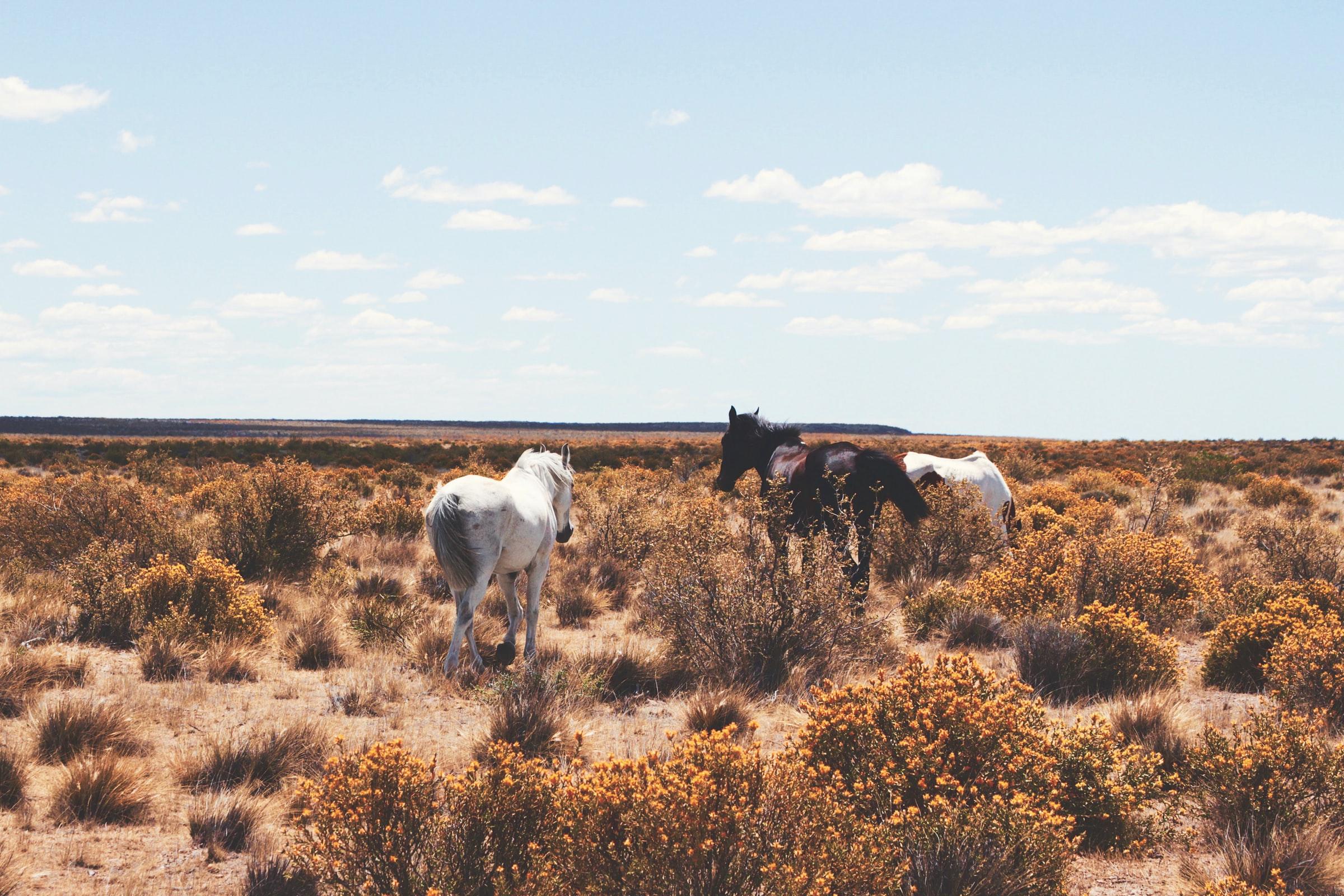 Pampa Argentinien Pferde