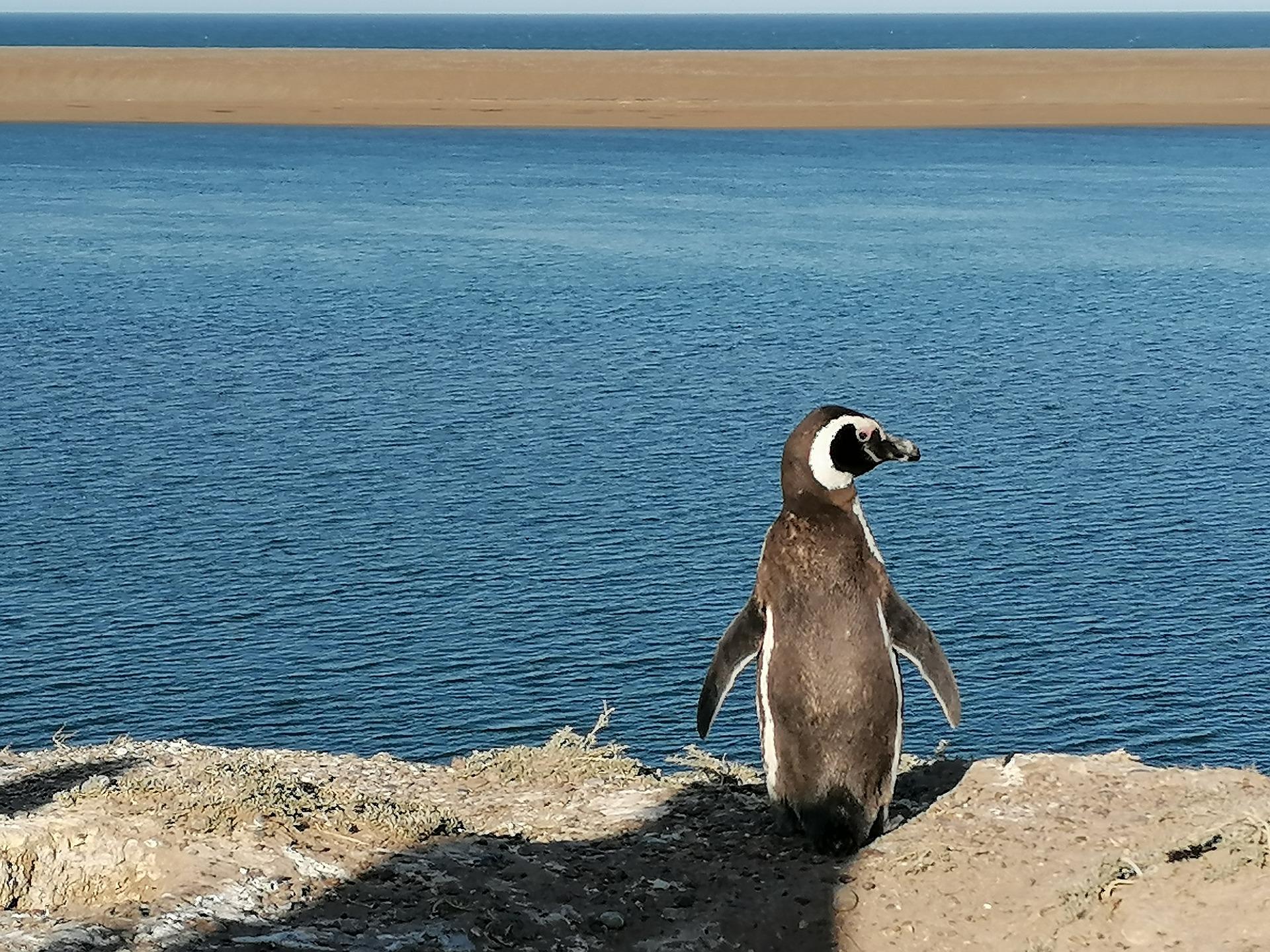 Pampa Argentinien Pinguin