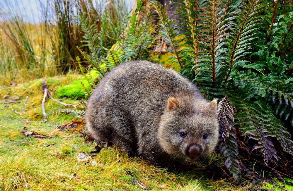 Tasmanien Wombat