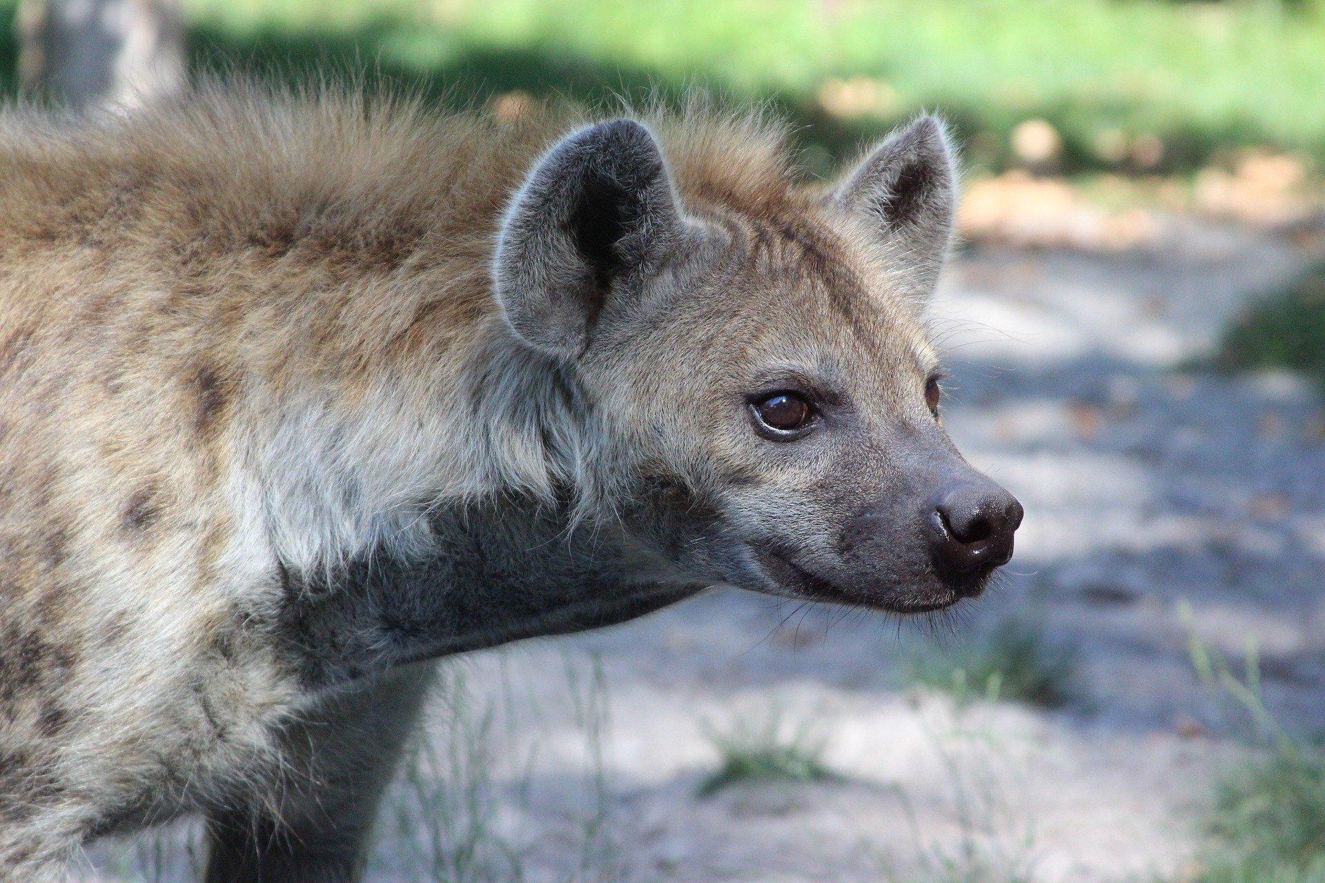 Äthiopien Harar - Hyäne