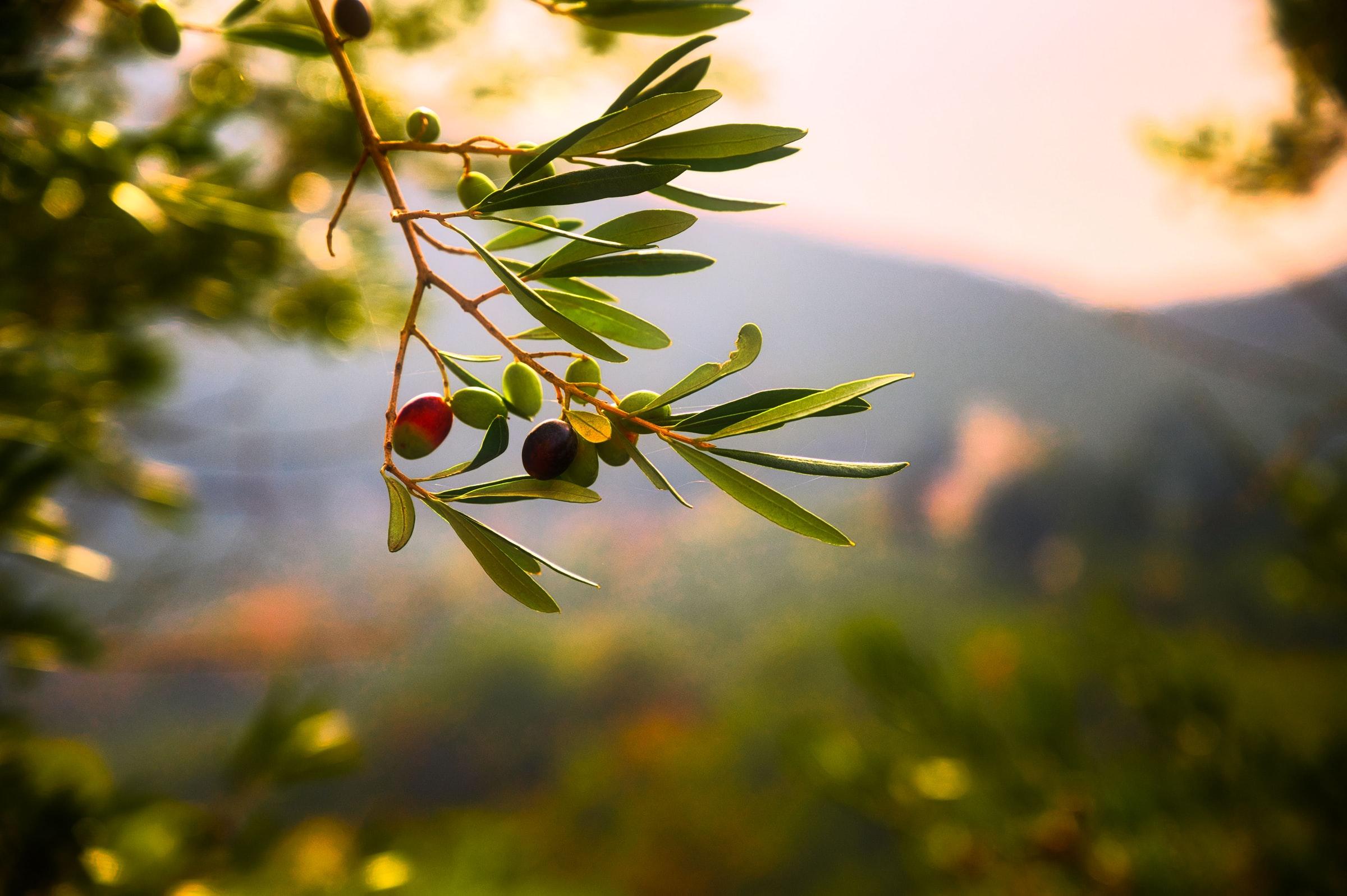 Kroatisches Essen - Olivenzweig mit Oliven
