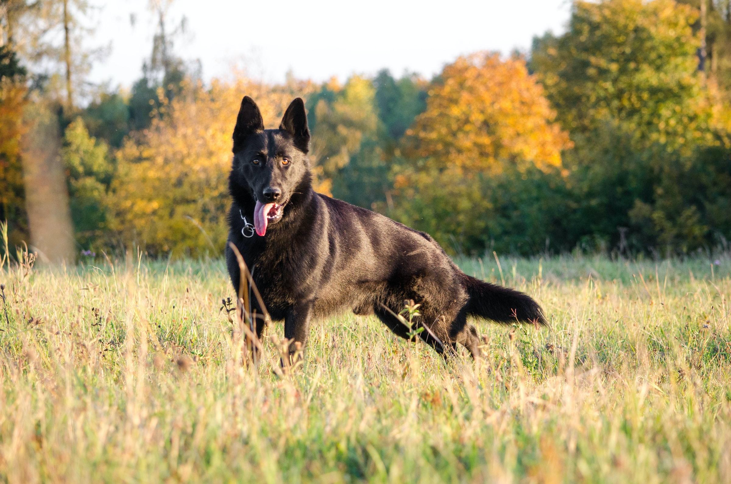 Wandern mit Hund - Schäferhund