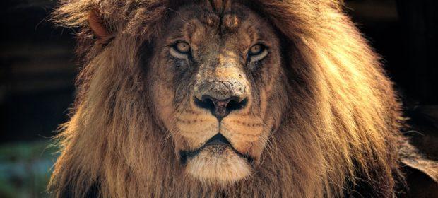 Krüger Nationalpark Löwe